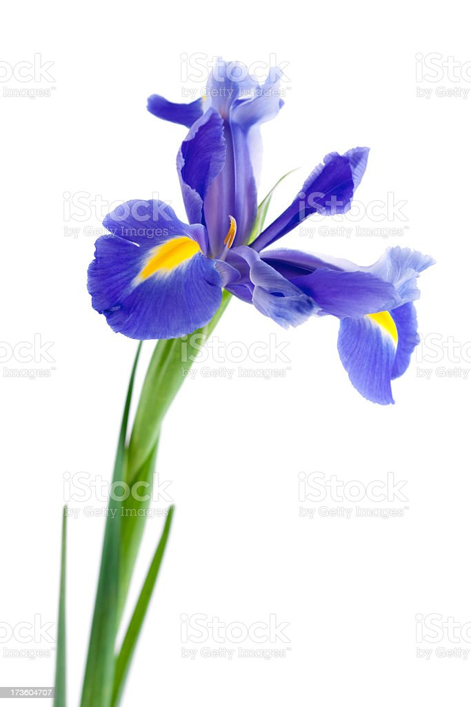 Purple iris with green stem on a white background stock photo