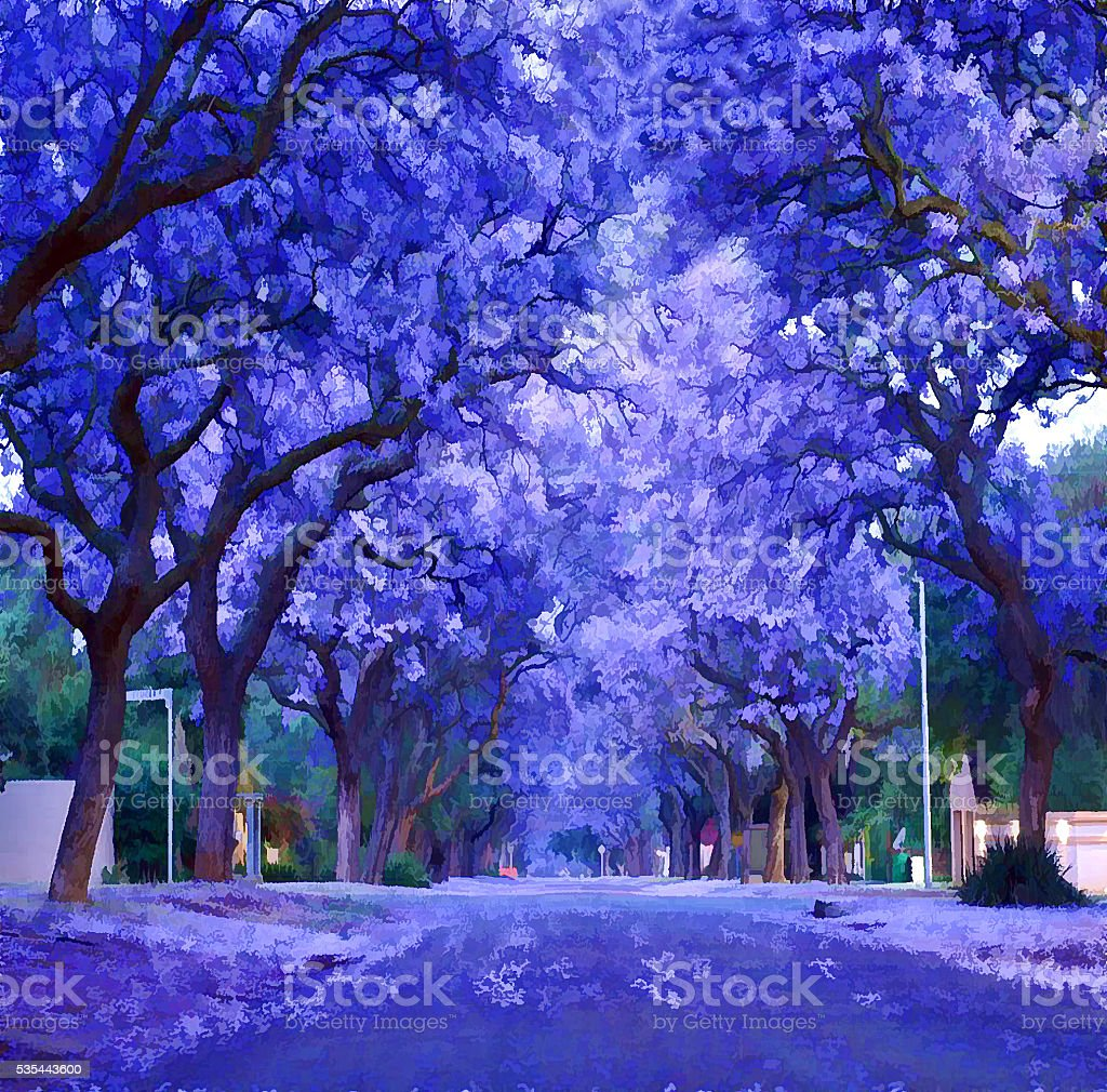 Purple jacaranda bloomed stock photo