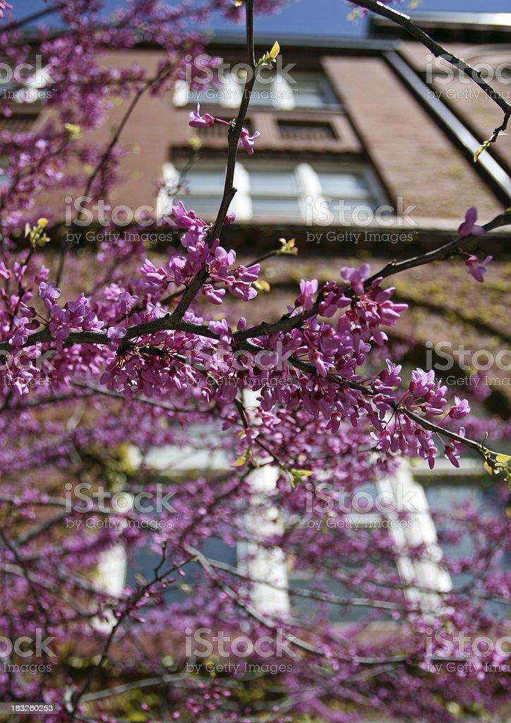 Purple Judas Tree Blossoms stock photo