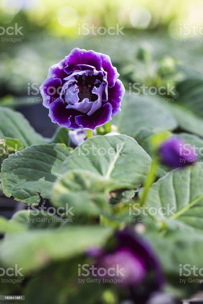 Purple kalanchoe stock photo