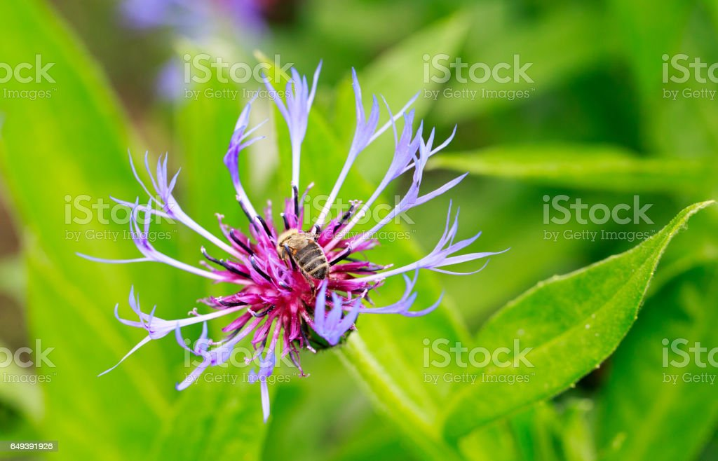 Purple Knapweed Flower head stock photo