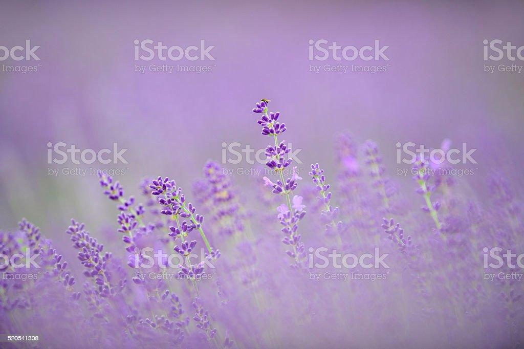 Purple Lavander stock photo