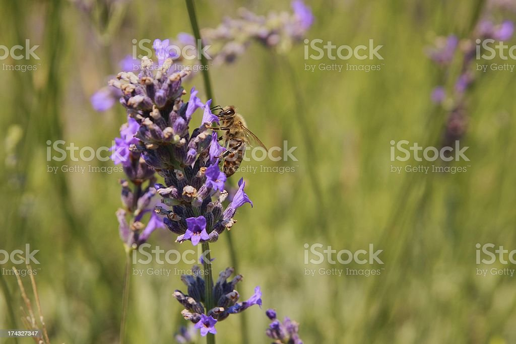 Purple lavander with bee royalty-free stock photo