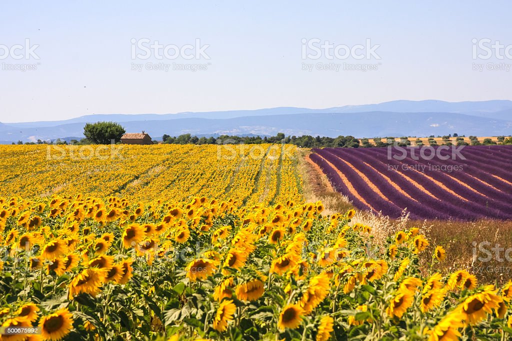 Purple lavender and yellow sunflower fields in Provence in bloom stock photo