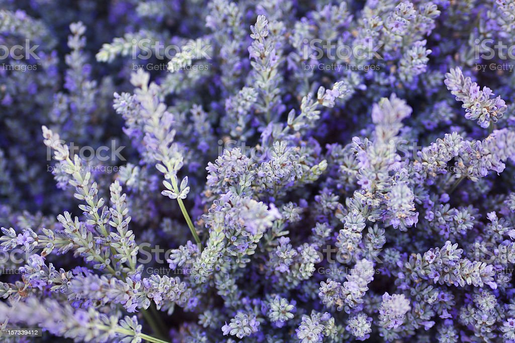Purple Lavender Flower Herb and Spice Background Texture royalty-free stock photo