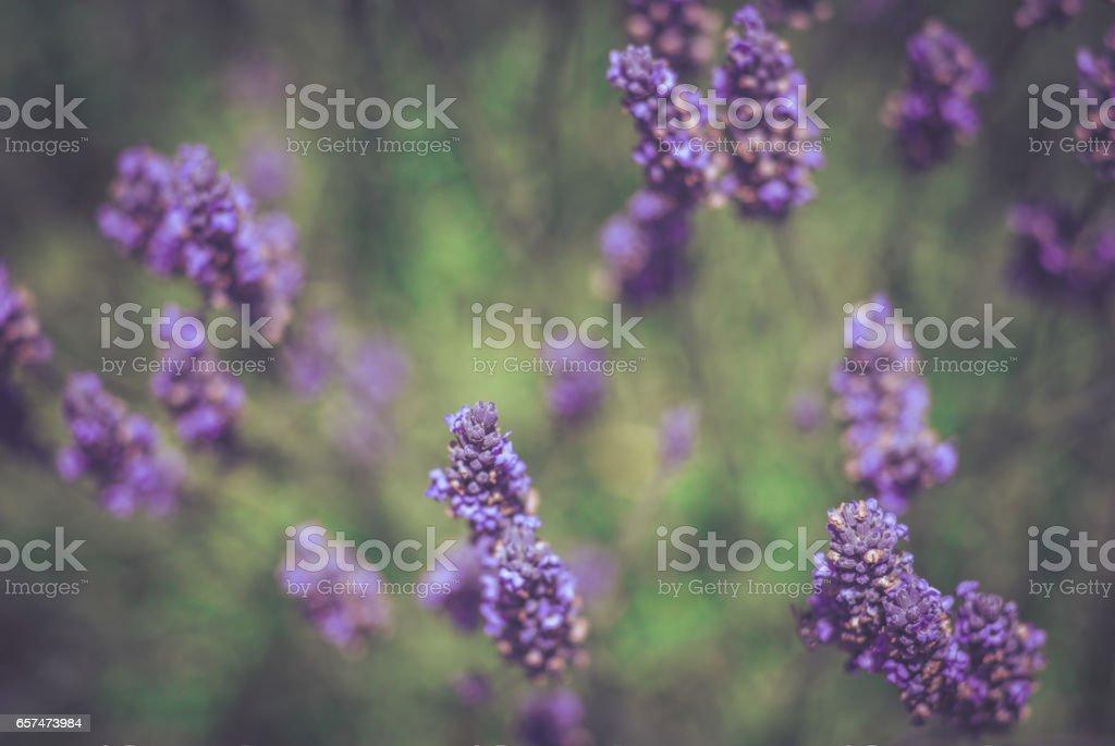Purple Lavender Flowers in a Field Closeup stock photo