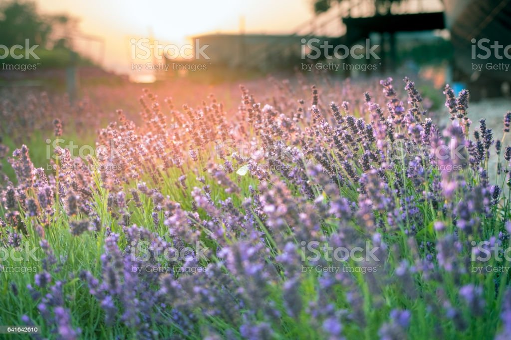 Purple lavender in the sun at sunset stock photo