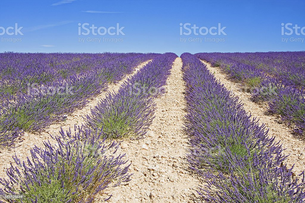 Purple Lavender royalty-free stock photo