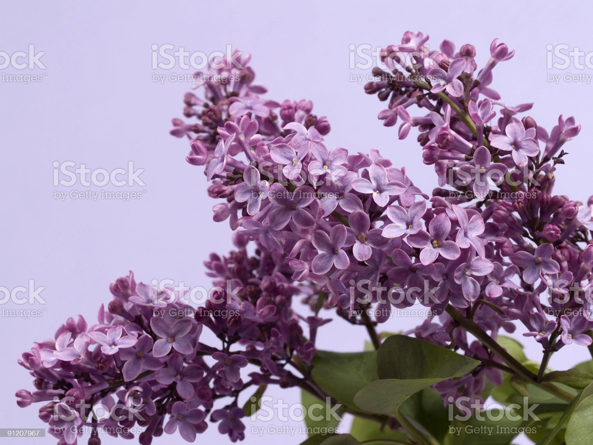 Purple lilac branch in bloom on bush royalty-free stock photo
