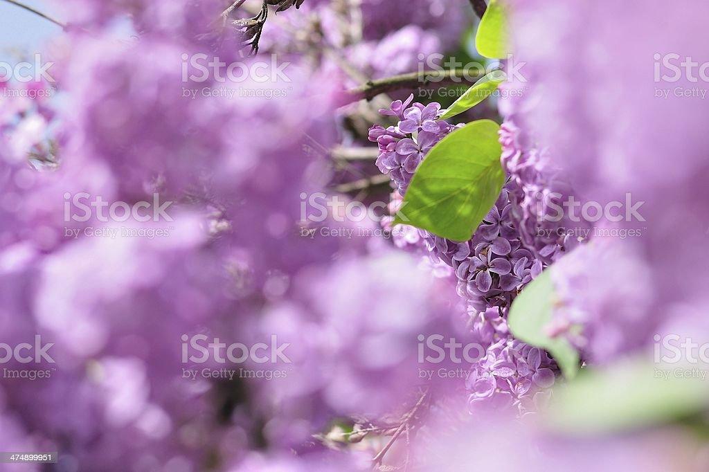 Lilak pospolity kwiaty na wiosnę zbiór zdjęć royalty-free