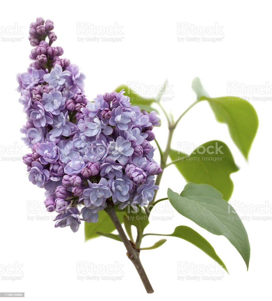Purple Lilac flowers isolated on white royalty-free stock photo