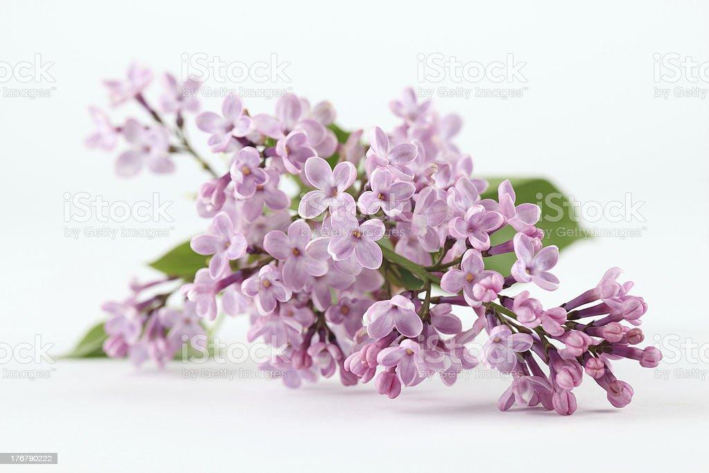 Purple lilac royalty-free stock photo