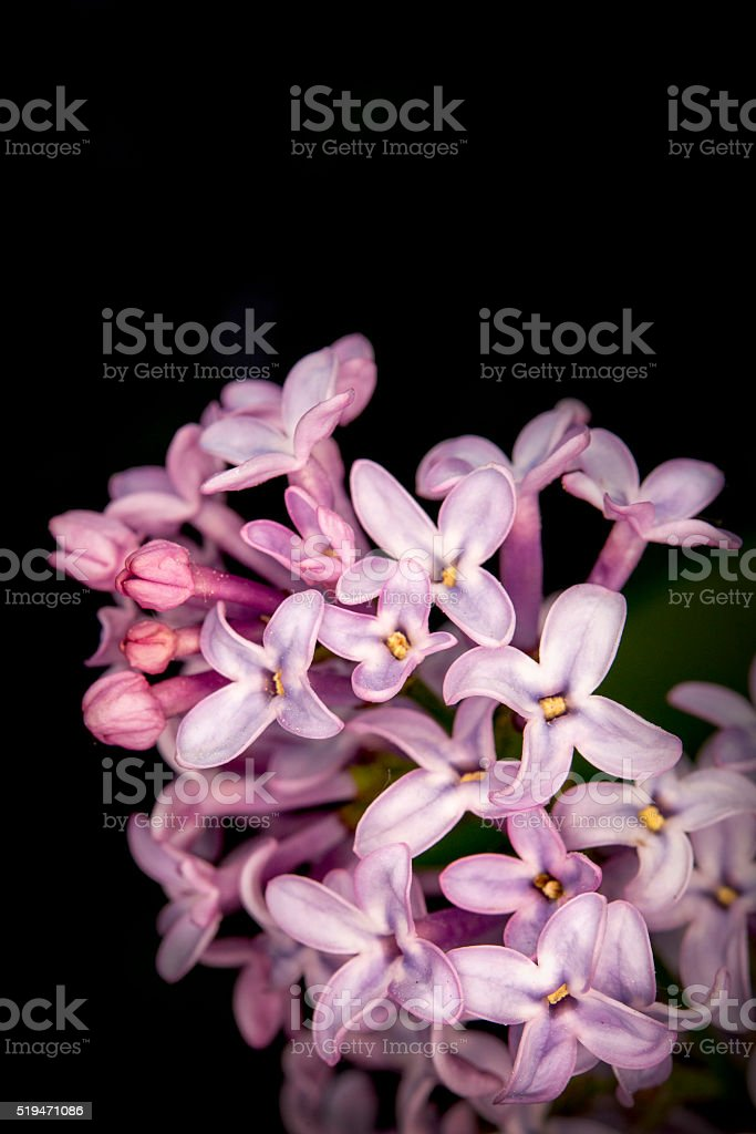 purple lilac with black background stock photo