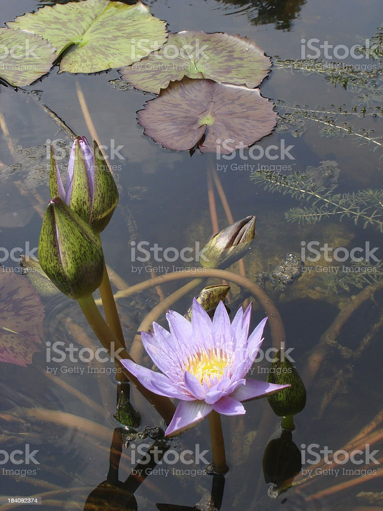 Purple Lily at Zilker stock photo