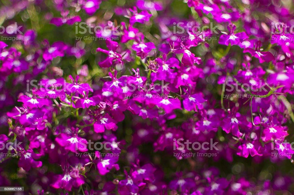 Purple lobelia blooming flower, natural environment. Indian tobacco, Lobelia inflata stock photo
