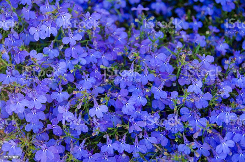 Purple Lobelia stock photo