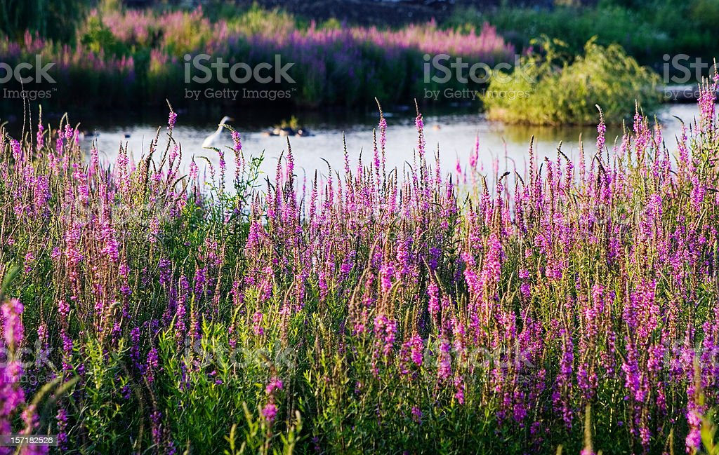 Purple Loosestrife at the Pond royalty-free stock photo