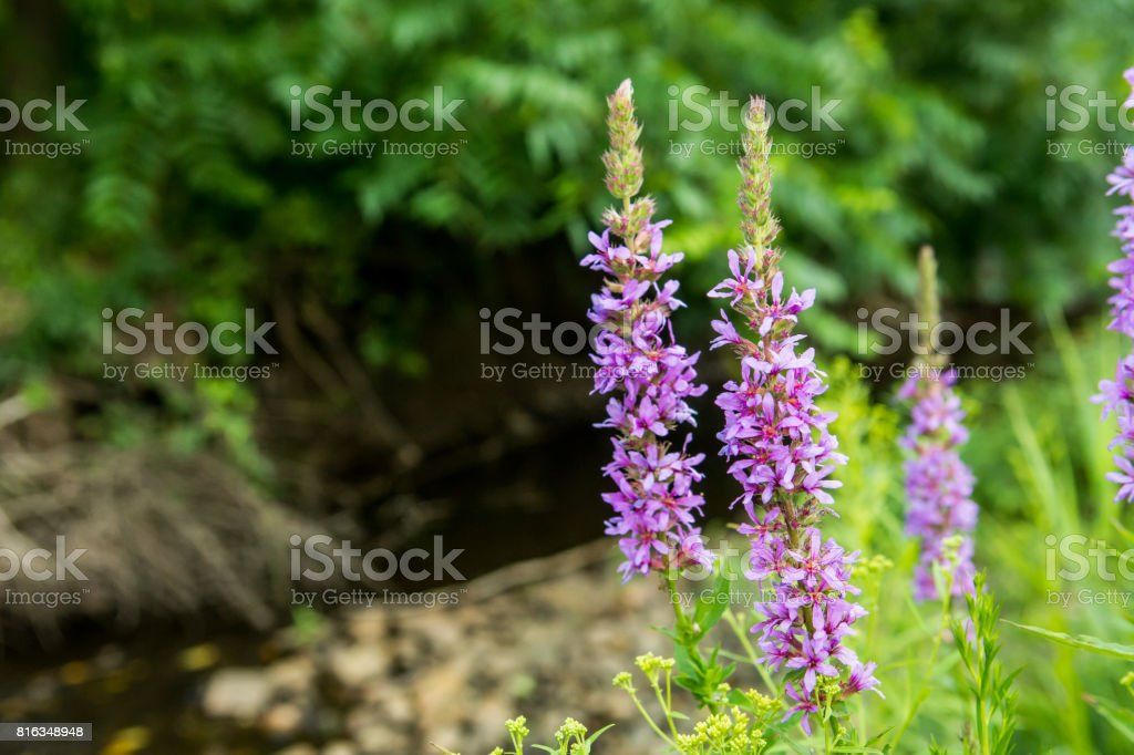 Purple Loosestrife destroying wetlands in a Park in New York stock photo