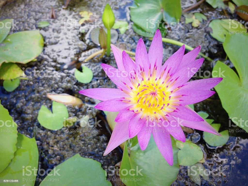 Purple lotus flower blooming in the garden stock photo