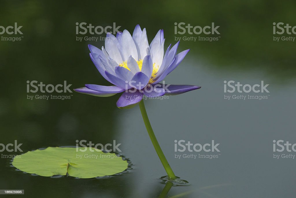 purple lotus flower blooming stock photo