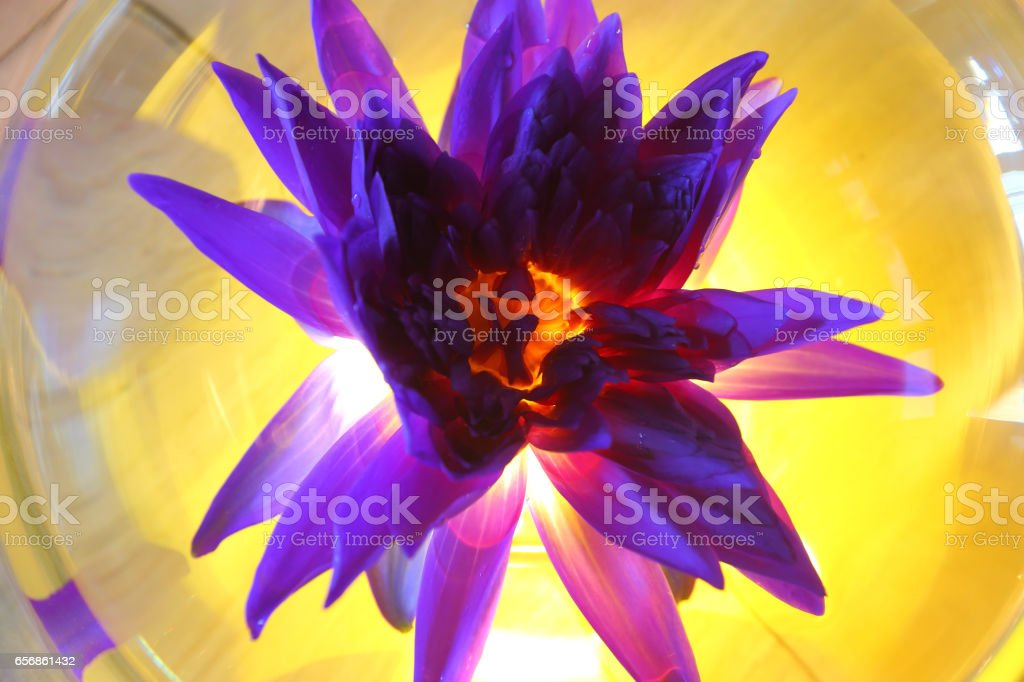 Purple Lotus Flower in oval glass jar with yellow light from back bottom stock photo