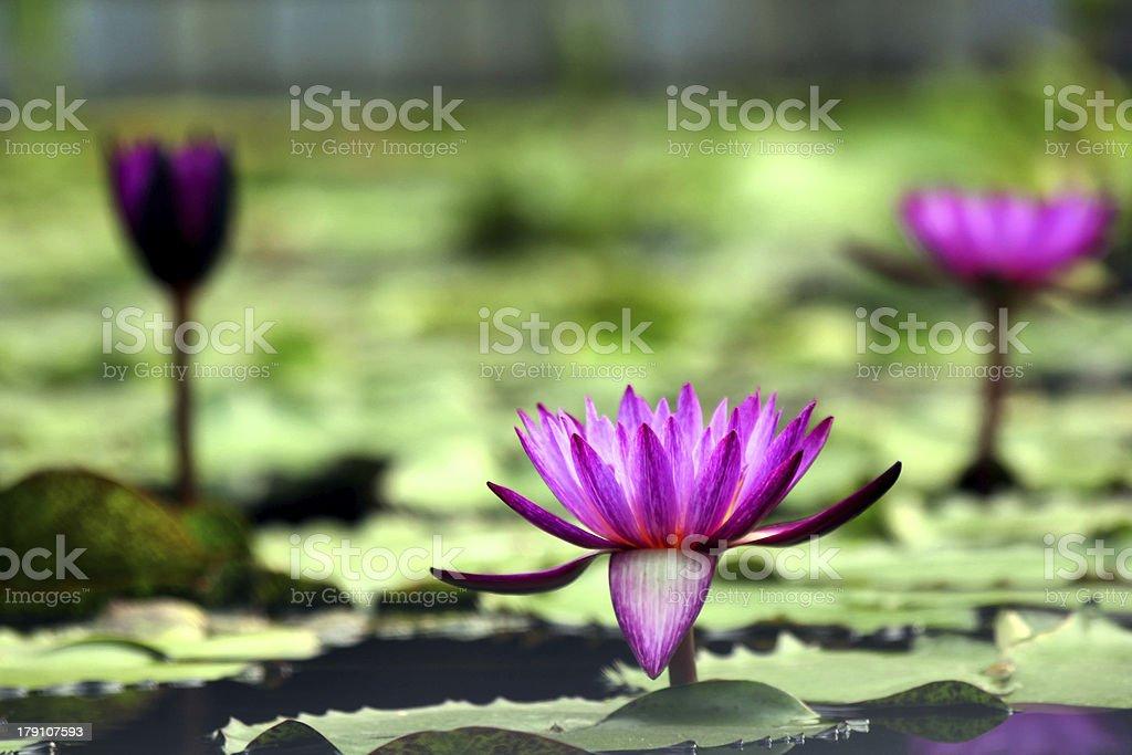 Purple lotus flower royalty-free stock photo