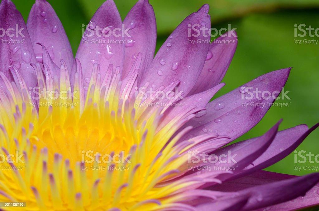 purple lotus flower. stock photo
