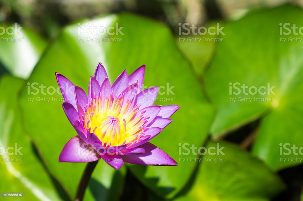 Purple lotus Blume  Lizenzfreies stock-foto