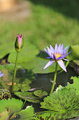 purple lotus in a pond with bloom.
