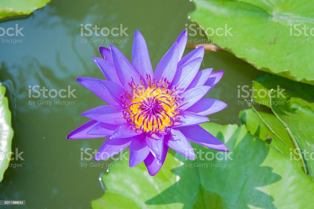 Purple lotus in lagoon royalty-free stock photo