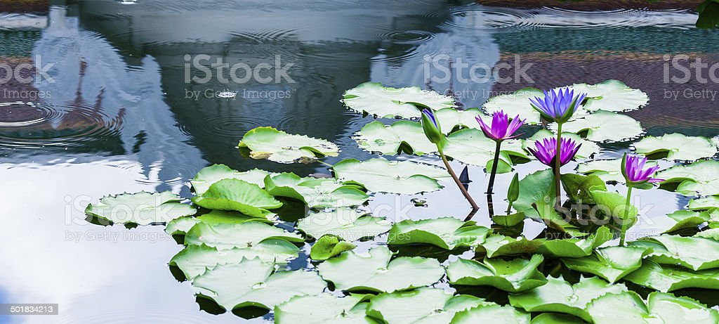 Purple Lotus in pond with Buddha temple reflection on water stock photo