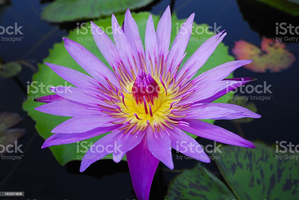 purple lotus royalty-free stock photo