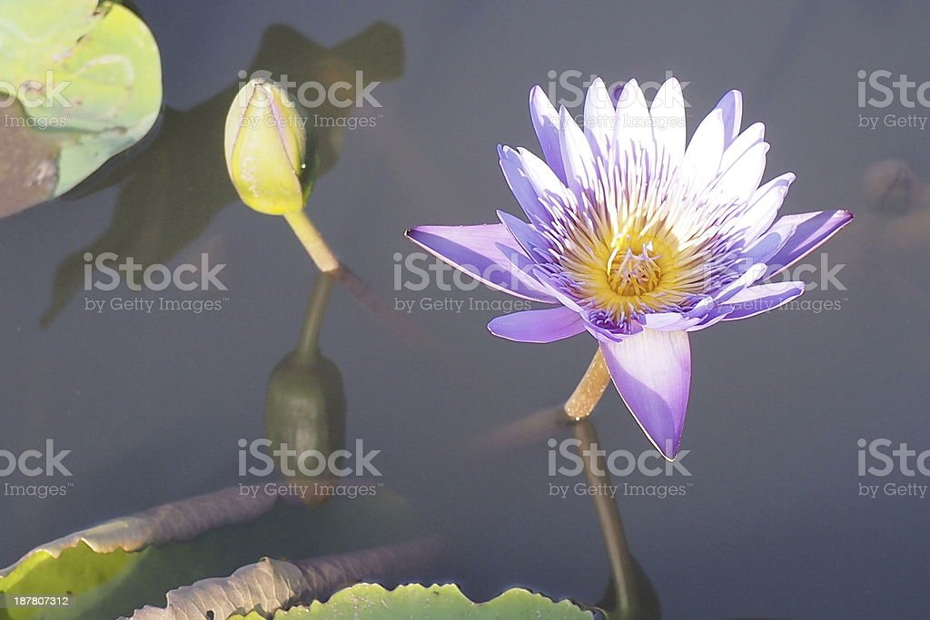 Purple lotus. stock photo