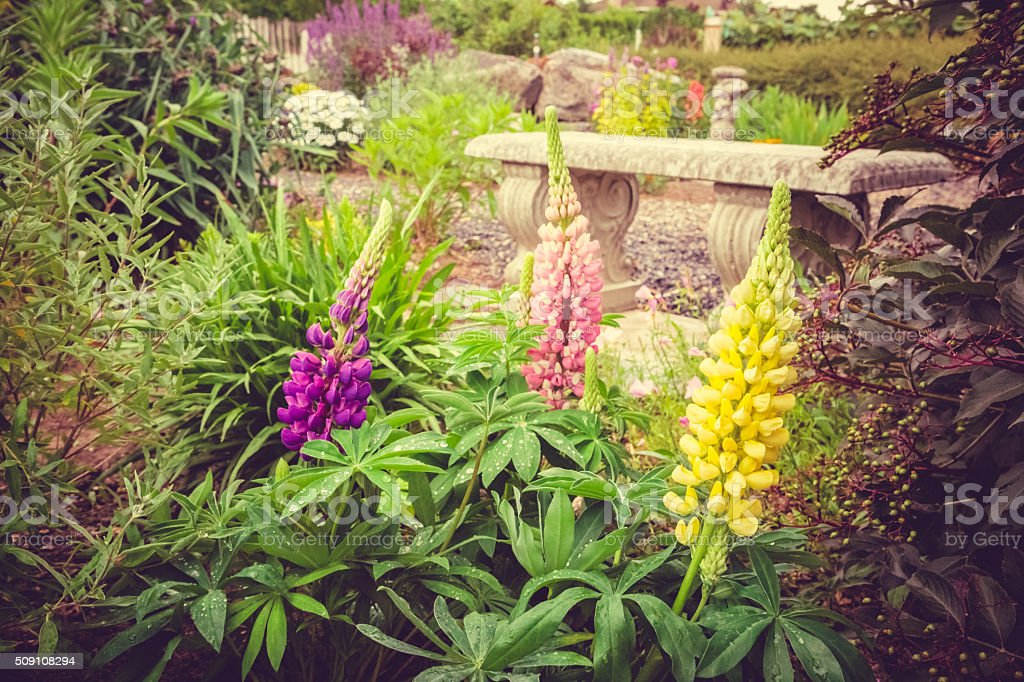 Purple Lupine Flower Blooming In Garden stock photo