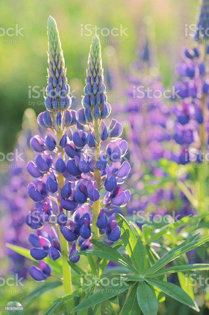 Purple Lupines. stock photo