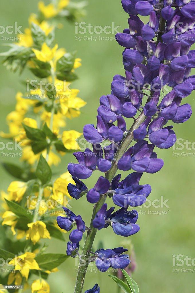 Purple Lupinus-Cultivars flower stock photo