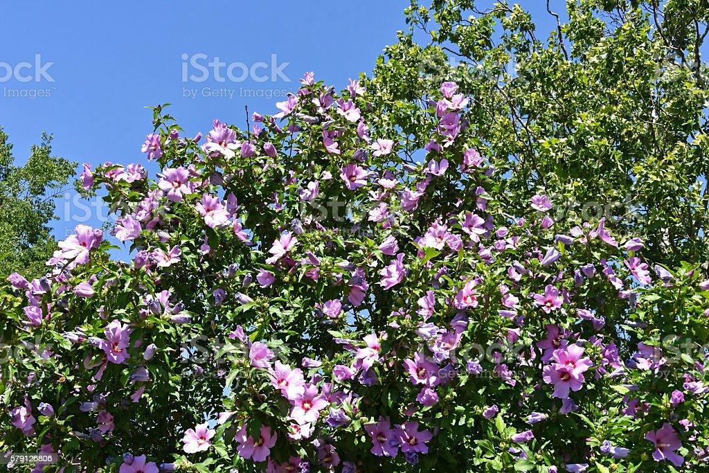 Purple mallow flowers stock photo