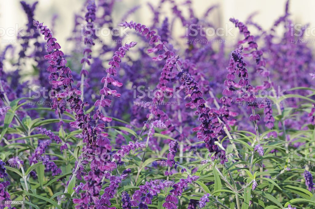 Purple Mexican Bush Sage stock photo