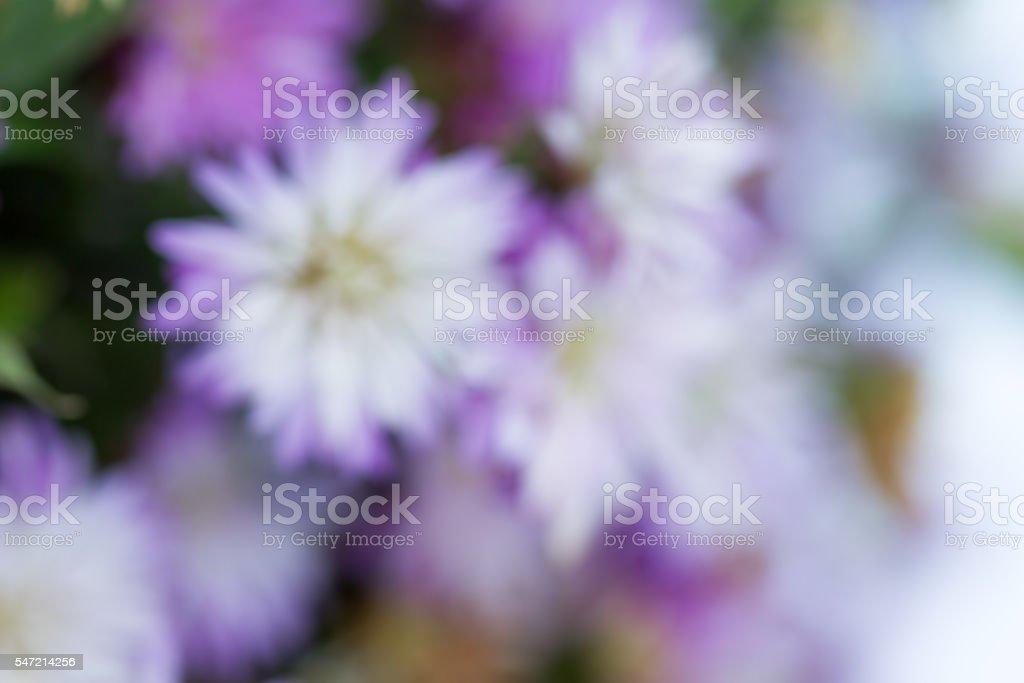 Purple Michaelmas daisy flowers stock photo