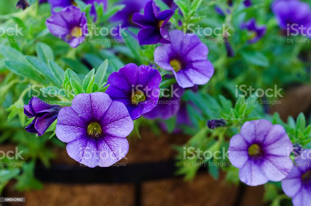 Purple Million Bells - Calibrachoa stock photo