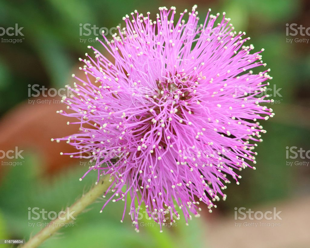 Purple Mimosa Pudica flower stock photo