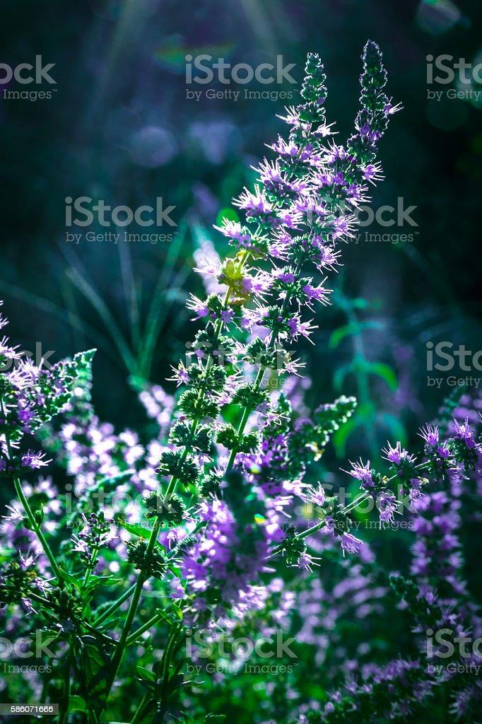 Purple Mint Plant Flowers stock photo