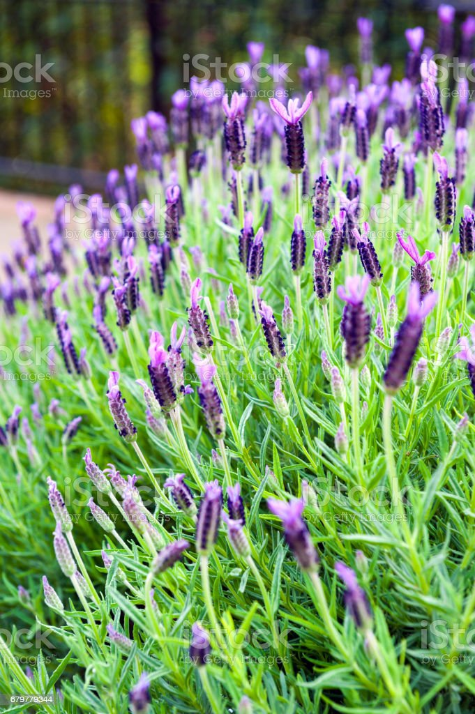 Purple Monet Dentate Lavender during its blossom in garden stock photo