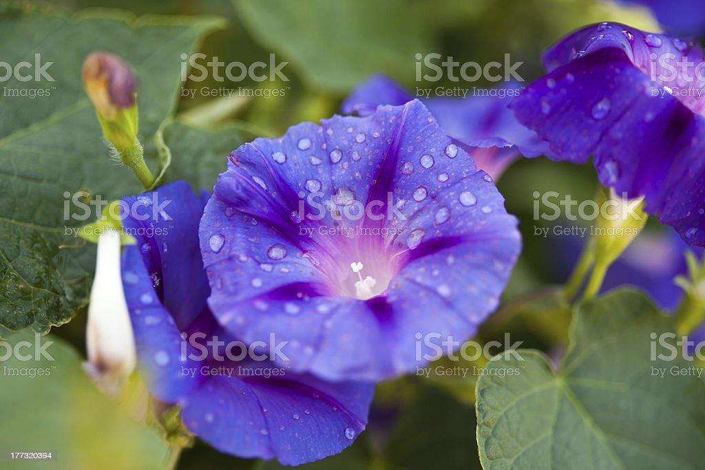 Purple morning glories stock photo