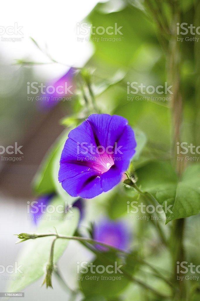 Purple Morning Glory flower royalty-free stock photo