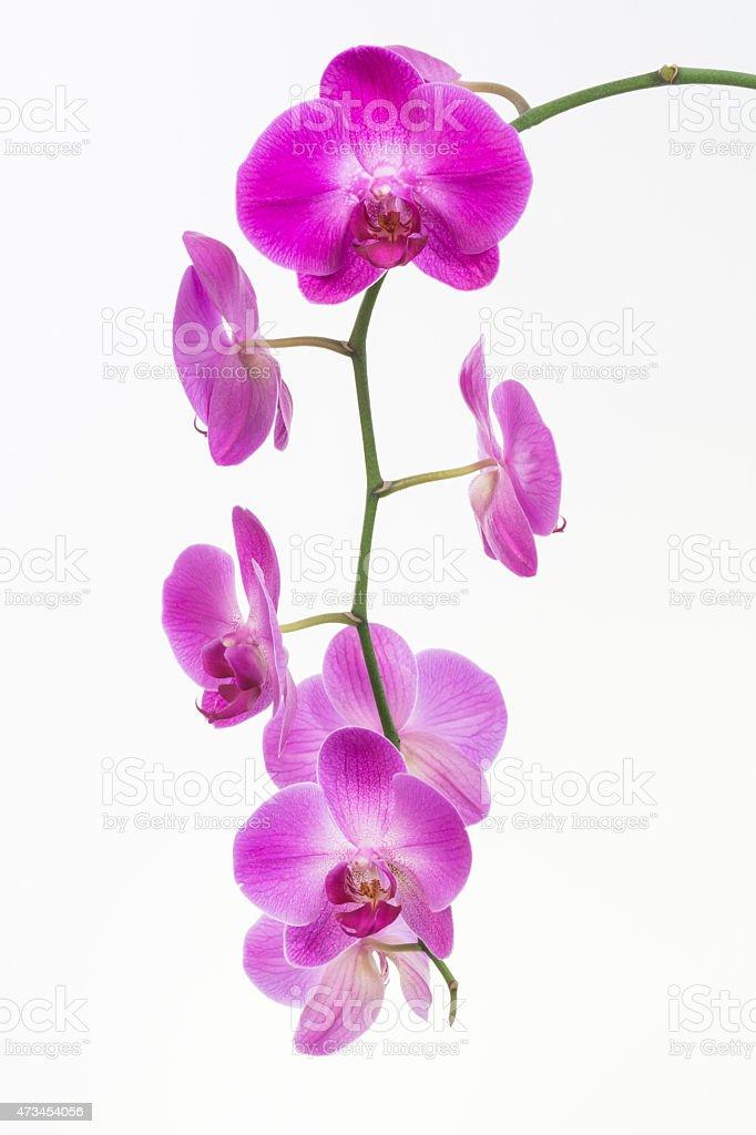 Purple Moth orchids close up stock photo