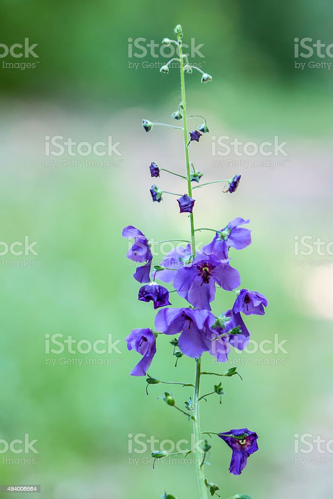 Mullein púrpura flor silvestre foto de stock libre de derechos