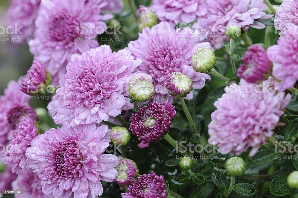 Purple Mums in Rain royalty-free stock photo