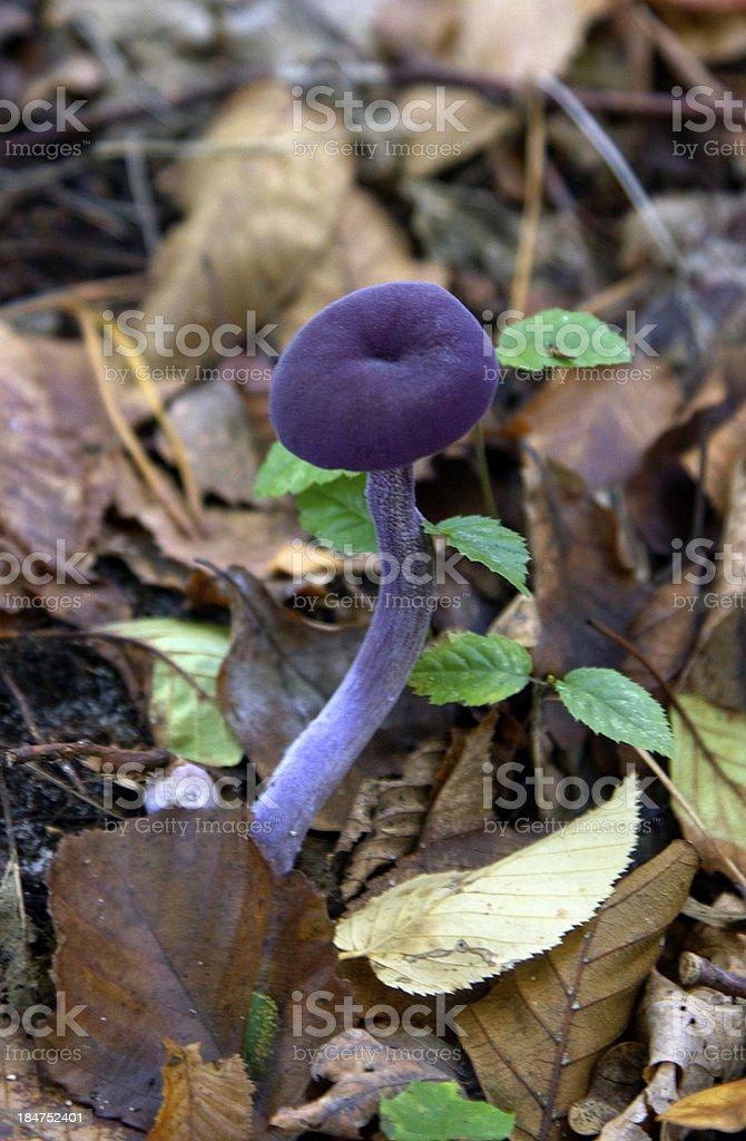 purple mushroom royalty-free stock photo