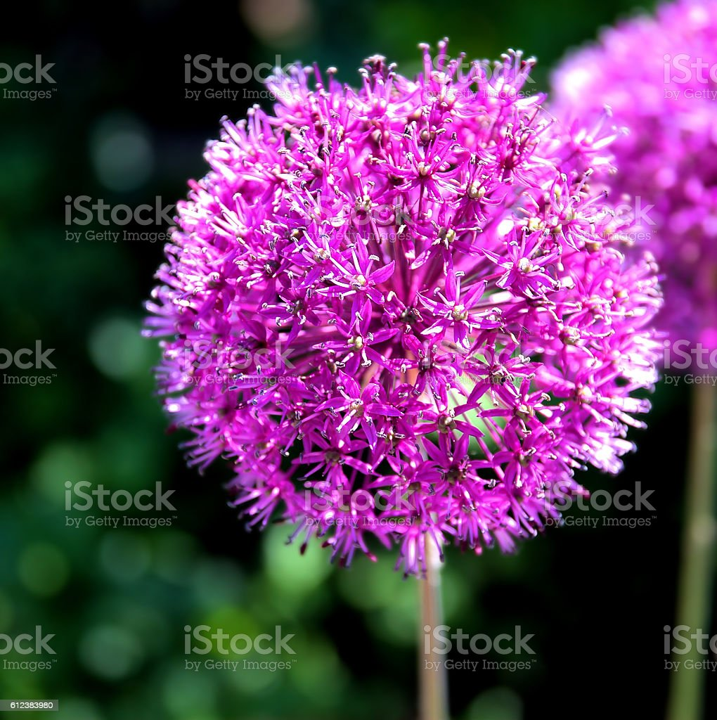 Purple onion flower (allium giganteum) stock photo